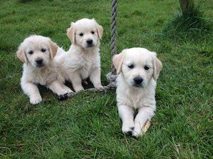 Dogs For Sale in Ireland - DoneDeal.ie