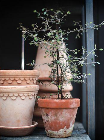 Sicksackbuske - Ett litet krukväxt med sirligt och elegant växtsätt. De tunna grenarna växer som i sicksack och längs med dem sitter..
