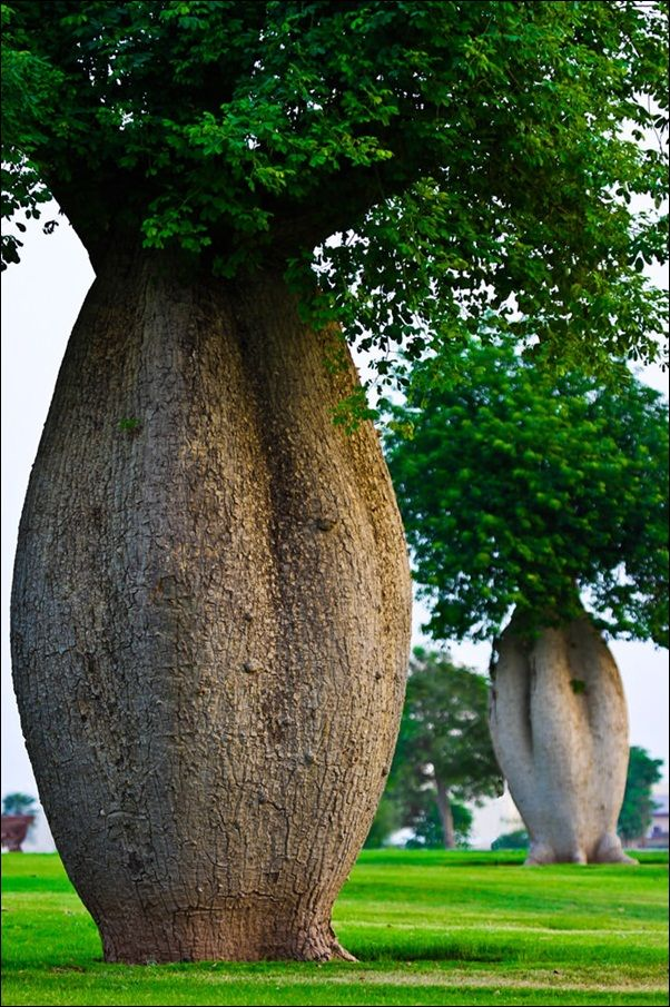 """The toborochi tree (Ceiba speciosa) in Bolivia.A common name for the toborochi in Spanish is arbol botella (bottle tree),and the trees are sometimes called palo borracho (drunken stick) because as they age they begin to look disheveled and the upper trunk becomes distorted."""