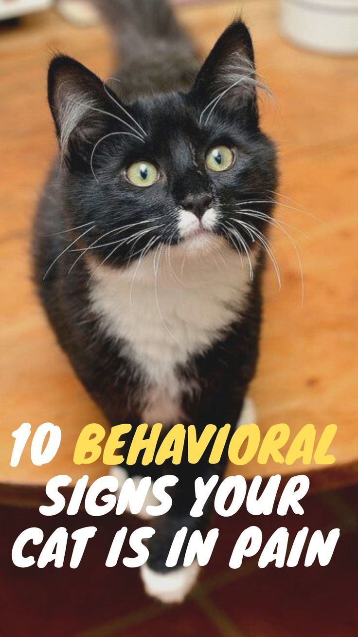 It Can Be Difficult To Tell If Your Cat Is In Pain For Many Reasons Cat Owners May Often Miss The Subtle Signs Of Pain In Their Cats Or