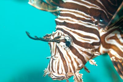 This site speaks of the overabundance of Lion Fish in Florida waters. It speaks of their history and character, and it focuses on the overabundance of them in Florida waters, and their danger.