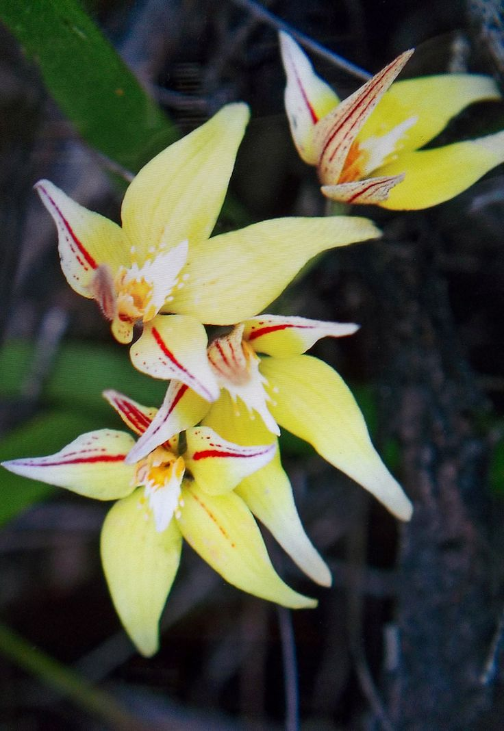Orchid from Kojonup, West Australia