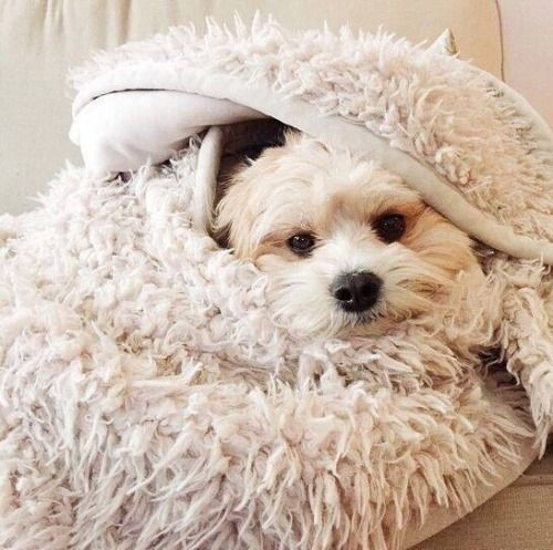 76 Best Comfy Cozy Images On Pinterest Doggies Cozy