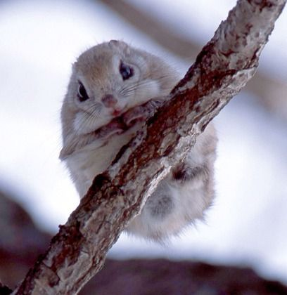Japanese dwarf flying squirrel pet