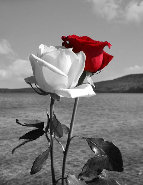 Reminds me of the movie Black Arrow. The families one of the white rose and the other of the red rose. Beautiful...