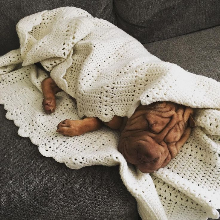 "251 Likes, 13 Comments - Rudy (@rudy_thetoysharpei) on Instagram: ""14 degrees outside got me like.. #wakemewhenitswarmagain #socold #whathappenedtothesun…"""