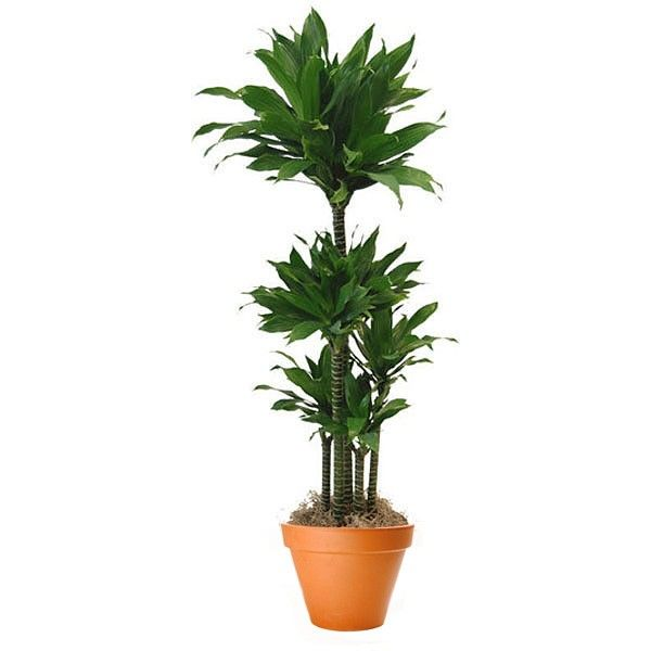 Dracaena Green Jewel Cane | Plant Delivery NYC | Plantshed.com