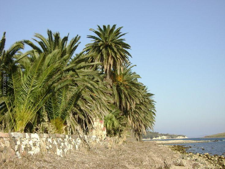 Lesbos Panayoudha Palm Trees | Greece.com | http://lesbos-eiland.webs.com