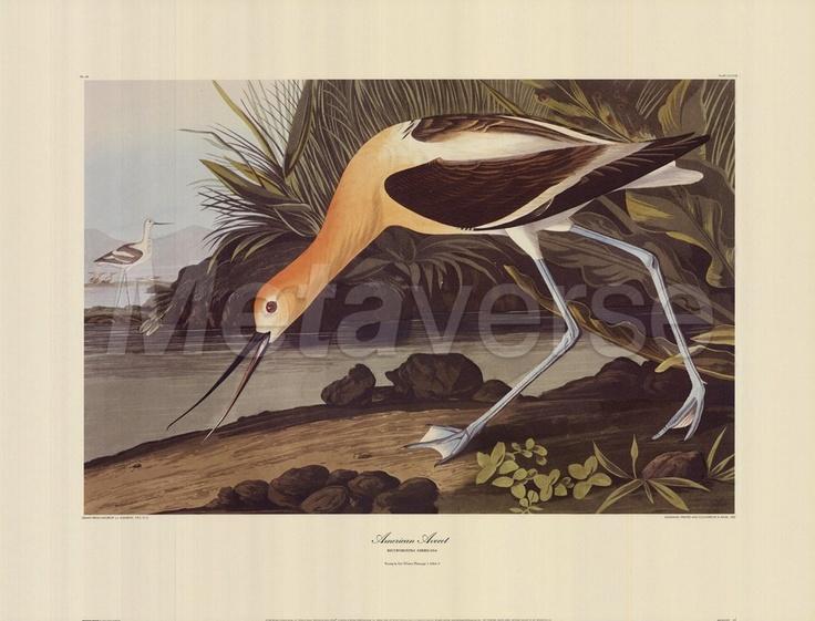 30 Best Images About John James Audubon On Pinterest
