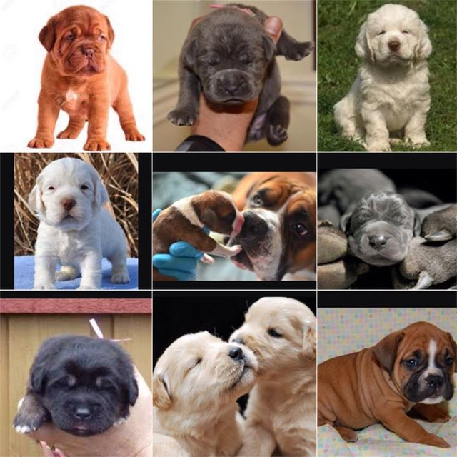 I love newborn puppies! Don't you?  from left to right ↔️.   #doguedebordeauxpuppy or #frenchmastiffpuppy ,#canecorsopuppy , #clumberspaniel , #clumberspanielpuppy , #boxermom , #greatdanepuppy , #tibetanmastiffpuppy , #goldenretrieverpuppy ,#boxerpuppy #lovenewbornpuppies #newbornpuppies #puppies #puppycrazy #DogLovers #americankennelclub #bigdogs #bigpaws