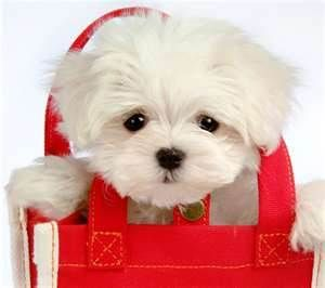 Maltese pup...certainly not ruki though.  as if he'd ever sit still in a bag! ;)