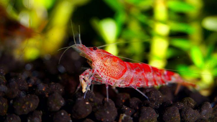 http://www.flickr.com/groups/shrimpbreeders/