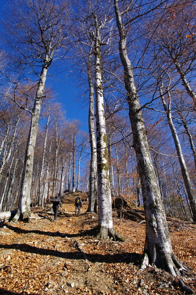 The carpathian beech forest in Godeanu Mountains, Romania.