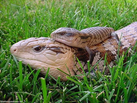 blue-tongued skink babies - Google Search