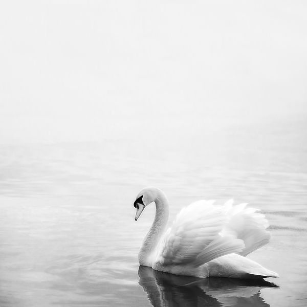 A beautiful white swan in Grenadier Pond in Toronto's High Park