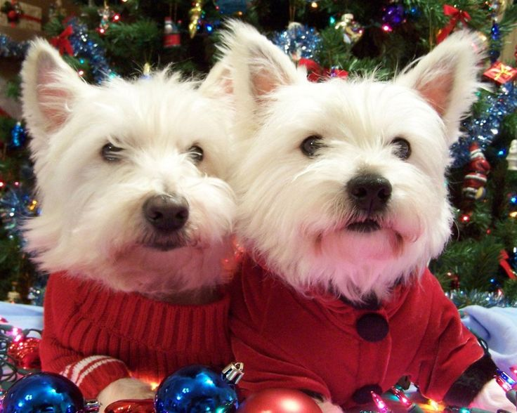 307 best Westies images on Pinterest | Westies, West highland ...