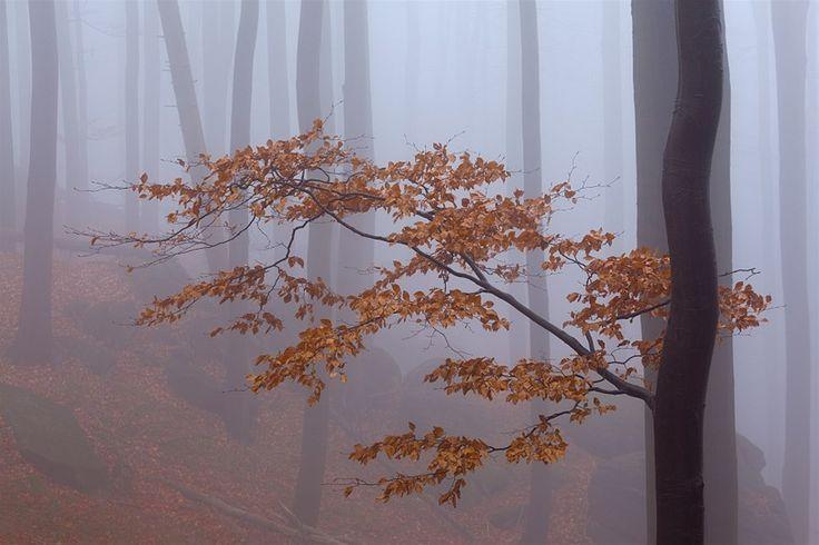Jizerské hory, přírodní rezervace Jizerskohorské bučiny. Již jsem se vracel domů, smířen s nezdarem, že jsem nepořídil žádnou fotografii, kd...