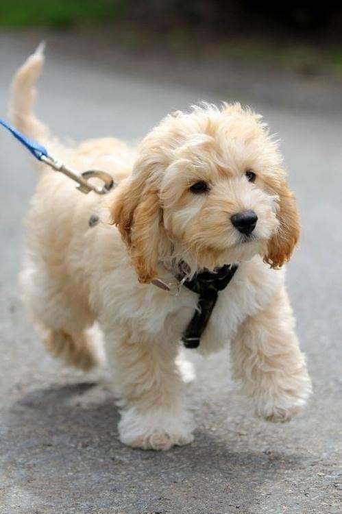 Cute labradoodle on leash.