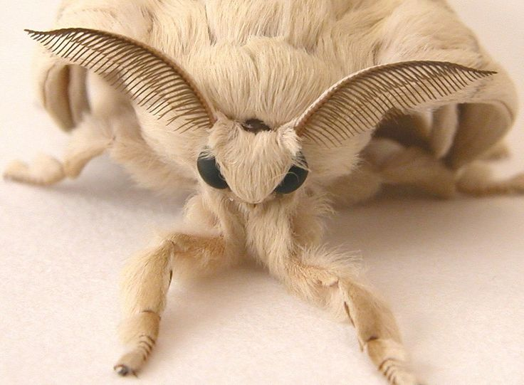 Venezuelan Poodle Moth--seriously?? Weird, and cute!