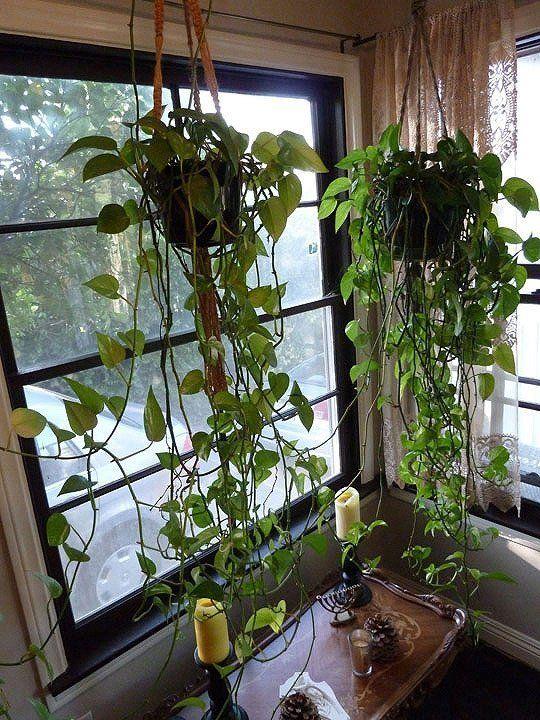 Les 176 meilleures images propos de plantes retombantes for Recherche sur les plantes vertes