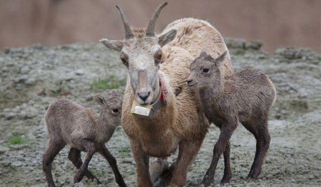Sensörlü keçiler afetleri önceden haber verecek-İtalya'da Etna Yanardağı çevresinde Max Planck Enstitüsü tarafından hayata geçirilen bir uygulamada, keçiler adeta erken uyarı sistemi haline geldi. Buna göre uzmanların sensörlerle donattığı keçiler sürüler halinde dağ çevresinde günlük hayatlarını yaşıyor.
