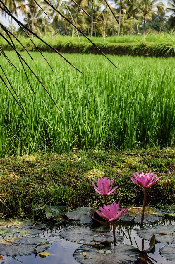 Water Lillie's in a Paddy