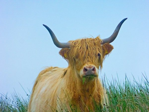 Highland cow on the track to Munsary Peatlands Reserve, Caithness, Scotland.