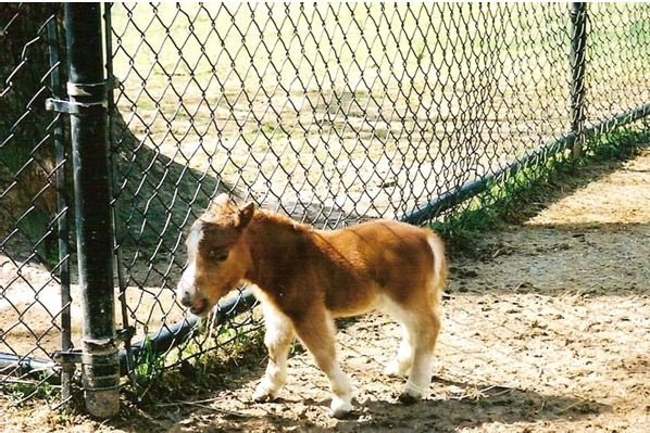 Full grown mini horse with dwarfisms. | Nature....all ...Full Grown Mini Horse
