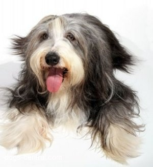 Bearded Collie. They are members of the herding group. They are great herders and drovers. They stand at 20-22 inches at the shoulder and weigh about 40-60 pounds.