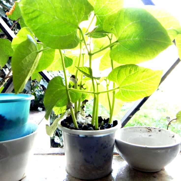 planta de poroto