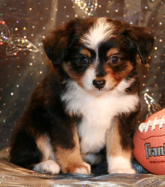 miniature aussies for sale in texas | Red & Blue Merle Toy Aussies for sale in CA, AZ, WA, OR, NV, TX ...