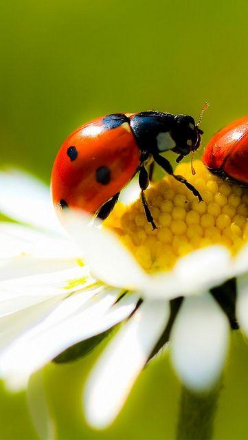 Chamomile ladybug crawling - #etologiarelazionale - The ethology of emotions and empathy