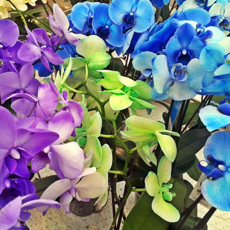 Orkidéer, Phalaenopsis, i violette, gørnne og blå, nærmest fluorescerende farver. #orkidé #orkidéer #blåorkidé #violetorkidé #grønorkidé #purpleorchid #greenorchid #blueorchid #orchids #orchid #fluorescentorchid #plantorama