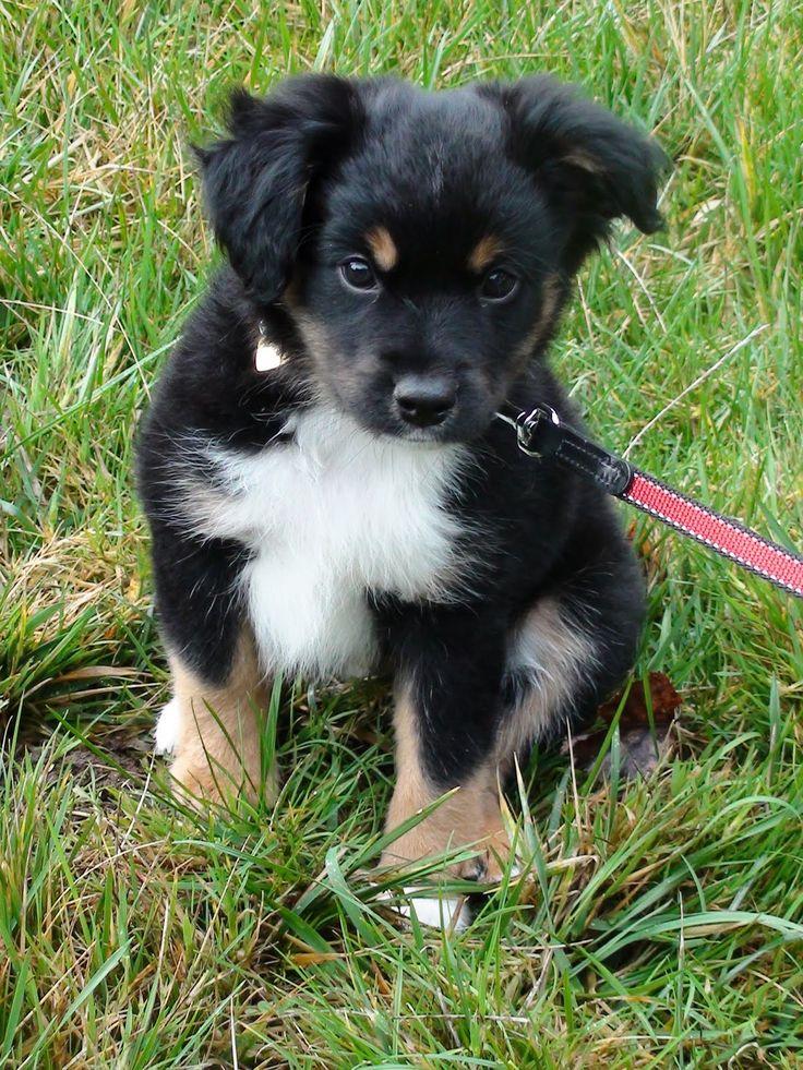 Mini Australian Shepherd. This is chubby version on my Mikey!!!