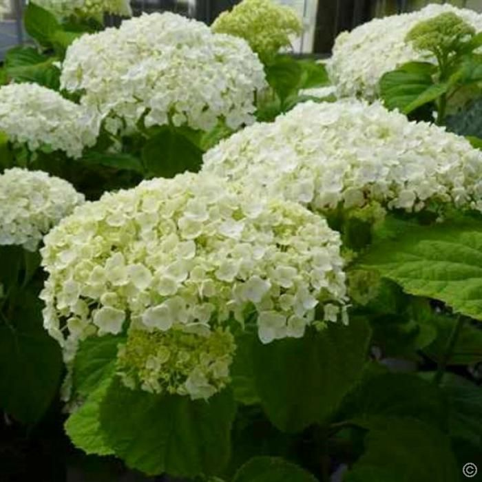 best 25 hortensia annabelle ideas that you will like on pinterest contemporary lawn and. Black Bedroom Furniture Sets. Home Design Ideas