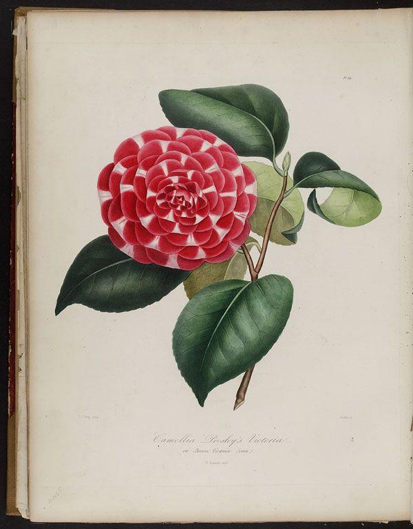 Image of Illustration of Camellia Presley's Victoria, ou Queen Victoria (vera)