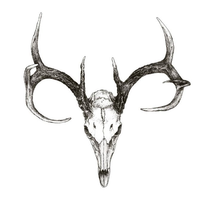 animal skulls with horns