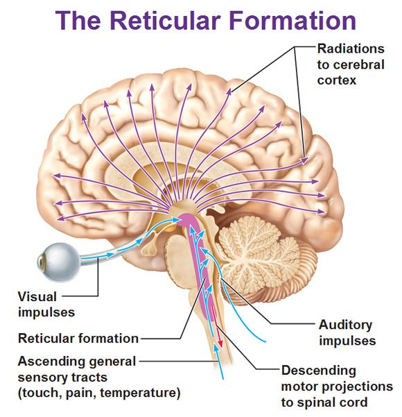 "The reticular formation is a set of interconnected nuclei. This ""web of gray matter"" runs vertically throughout the brainstem and has connections with the cerebrum. This has over 100 neural networks that use different neurotransmitters that function in: Somatic motor control, Cardiovascular control, Pain modulation, Sleep and consciousness, and Habituation. The two components of this formation are the ascending and descending reticular formation."