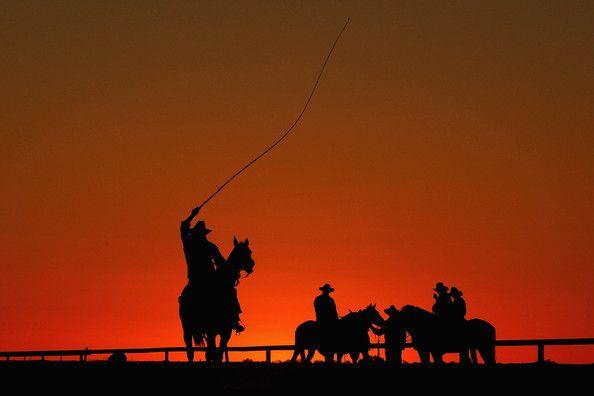 Cattle Drive  In South Australia