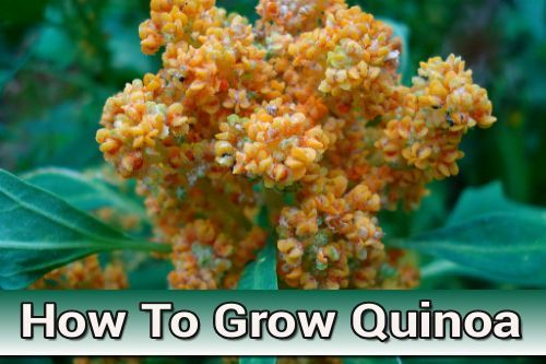 How To Grow Quinoa - in your home garden or in containers. It is actually easy to grow... #gardening #homesteading