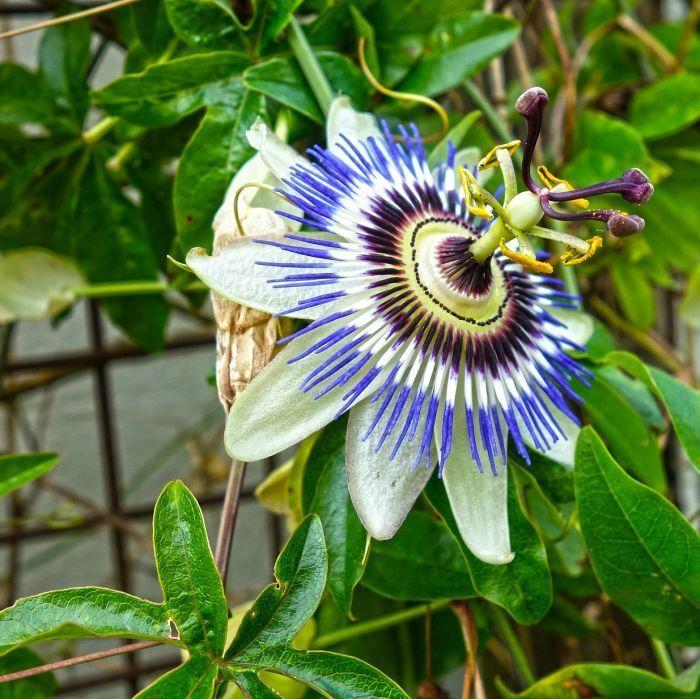 3ft Blue Passion Flower 3l Pot Passiflora Caerulea 21 99 In 2020 Blue Passion Flower Passiflora Caerulea Passion Flower Plant
