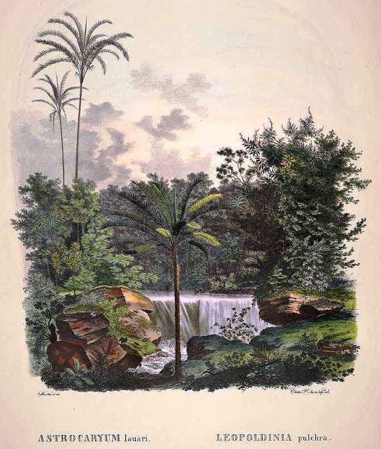 """Olímpia Reis Resque: A bonita palmeira Jará """"...Explorando mais adiante, encontramos um pequeno lago, de no máximo meia milha de diâmetro, todo circundado de declives fortes, exceto onde este barranco o separa do rio. Um córrego diminuto serpeia por sobre a areia e a argila, com cascatas aqui e ali, ..."""". Texto de Herbert Smith (1851-1919). Ilustração em: Martius, C. F. P. von. Historia Naturalis Palmarum, v. 2, t. 52, 1839. www.plantillustration.org. No Blog olimpiareisresque.blospot.com…"""