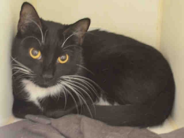 "GISELE - A1090900 - - Staten Island  ***TO BE DESTROYED  10/14/16*** SECOND CHANCE FOR GISELE TONIGHT – LET'S GET HER SAFE ASAP!!  GISELE IS AN OWNER SURRENDER – DESPITE IT SAYING ""STRAY"" – AND NOW WITH A COLD, THIS GIRL NEEDS RESCUE OR WILL DIE. A volunteer writes: Gisele is a black and white beauty with golden eyes that will capture your heart. She's a bit on the reserved side, and cat parents who have had experience with cats will kn"