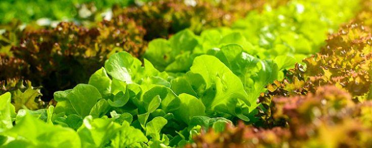 Cultivo convencional, orgânico e hidropônico - A diferença entre cada um deles   As plantas precisam de espaço para fixar suas raízes e respirar, sol e água para realizar a fotossíntese e produzir energia, vitaminas que são os nutrientesque deixam elas bonitas e saudáveis e tratamentos para combater doenças e pragas.   Existem três m... - http://www.ecoadubo.blog.br/ecoblog/2016/10/25/cultivo-convencional-organico-e-hidroponico/