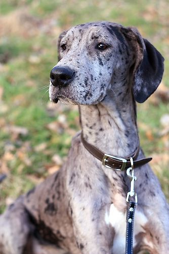 25+ best ideas about Merle Great Danes on Pinterest | Blue ...