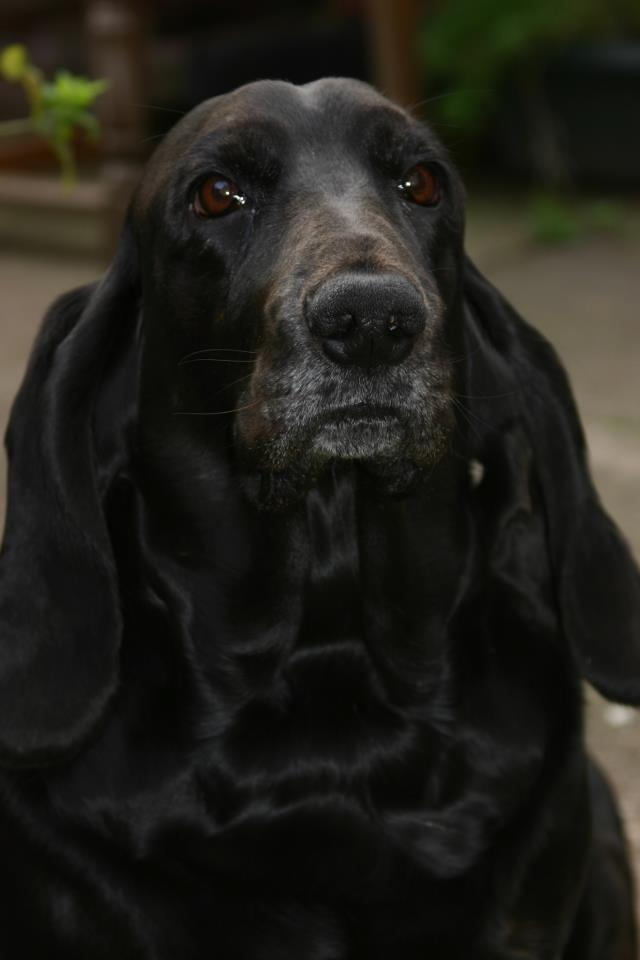 Black Basset... He's so cool- a dog like this EXISTS? I thought they were only tricolor or brown/white...... HE IS STILL KOOL