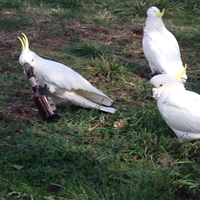 https://flic.kr/s/aHskaLRU1J | Turkey Tipple | Strange sight this morning. A flock of cockatoos on the Limestone Avenue median strip, digging around in the grass for roots or seeds or whatever it is they forage for. One was playing with a bottle, acting kind of hinky. Straddling the bottle, picking it up, rolling it around. Every now and then it would walk off and fall down, or confront another cockatoo. And when it did, another bird would take a turn at the bottle. Eventually I walked over…