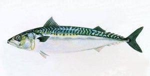 Makreel met peterselie en mosterd van Onno Kleyn