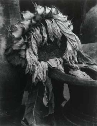 Sunflower 1920 by Edward Steichen