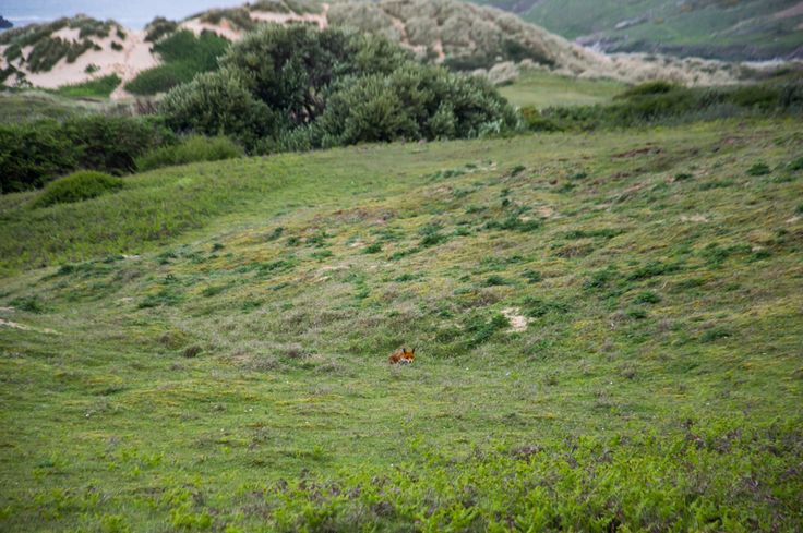 Maiden in Conwall - Getting Foxy - A fox hunts for rabbits in Crantock